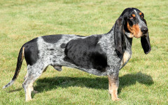 Basset Bleu De Gascogne, carattere e prezzo - Razze cani
