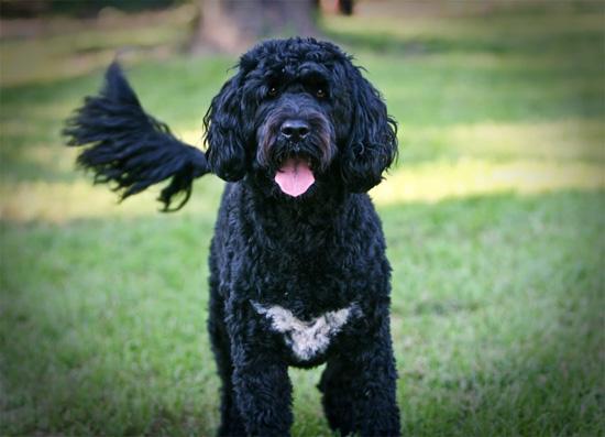 Perro de agua portugués: canino peculiar