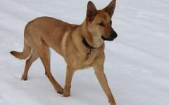 Chinook Dog: Origins, Characteristics, and Personality