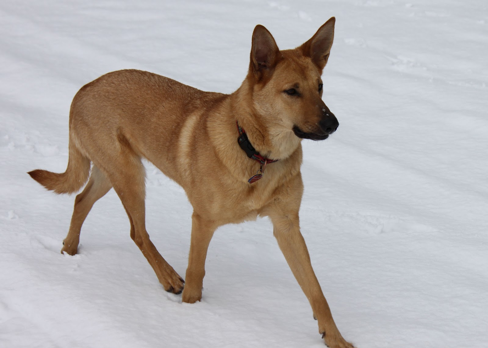Chinook Dog: Origins, Characteristics, and Personality