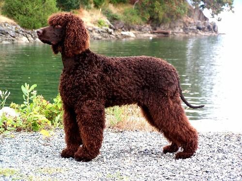 Irish Water Spaniel, carattere e prezzo - Razze cani