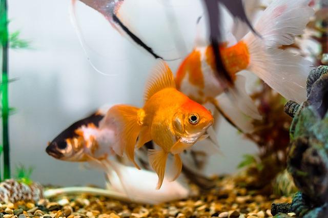 Pesci rossi: come nutrirli nella maniera corretta