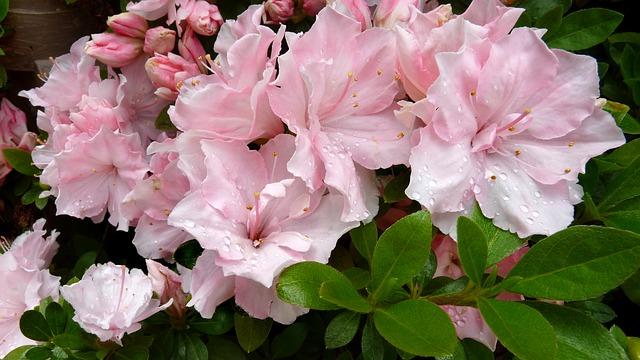 Azalea - Toxic Flowering Plants for your Cat and Dog