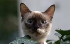 Gato birmano: un felino de larga historia