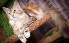 Gatti taglia grande: quali sono i felini più grandi?