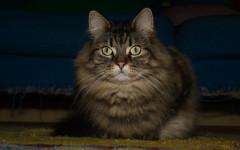 Gato noruego: una raza de gatos histórica