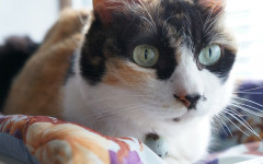 Calico Cats: The Predominantly White Ones