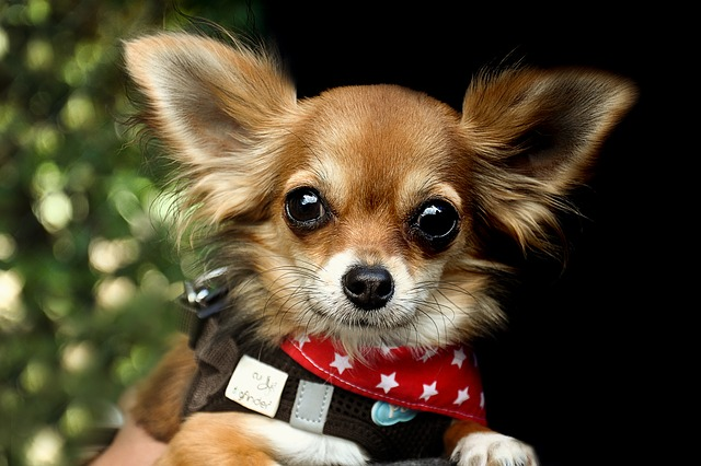Teacup dog: quali problemi possono avere?