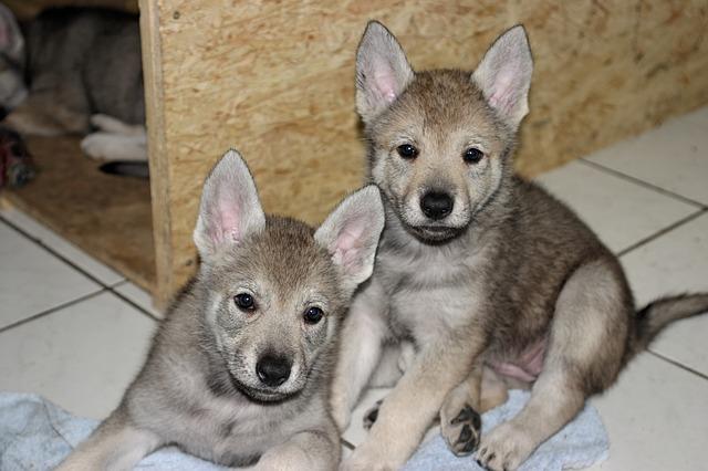 Perro checoslovaco: canino con algo de lobo