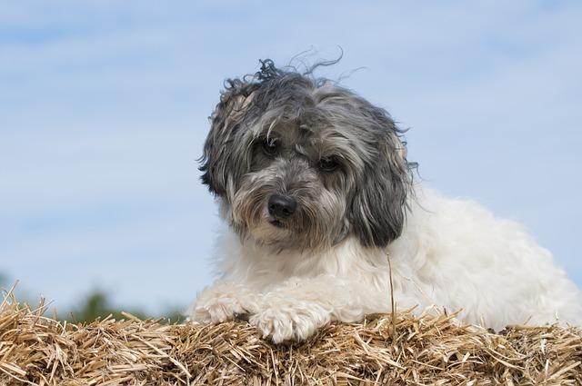 Piccolo cane leone, carattere e prezzo - Razze cani
