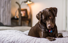 Perché i cani salgono sul letto? Come abituarli alla cuccia?