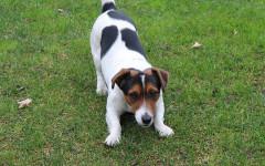 Perro Jack Russell: un pequeño peludo que debes conocer