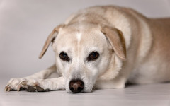 Cushing's in Dogs, Symptoms and Treatment