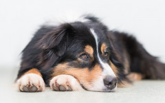 Giardiasis in dogs: causes, symptoms and treatment