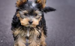 Cani da appartamento: caratteristiche dei cani piccoli