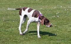 Pointer Inglese, carattere e prezzo - Razze cani