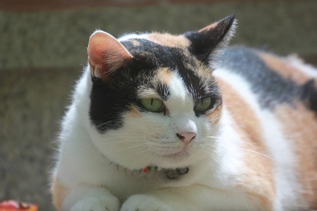 Gatto obeso: cosa fare per farlo dimagrire?
