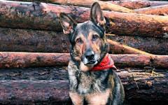 Legge Finn: reato di ferimento di un cane poliziotto
