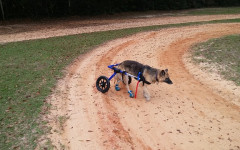 Dog Wheelchair: things to consider when looking for it