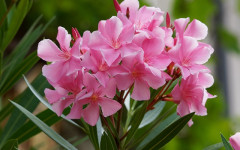 Oleander Plants and Their Poisonous Effects in Dogs and Cats