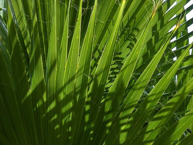 Palma nana: semi tossici per cani e gatti