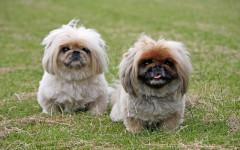 Perro pequinés: alegría miniatura de este perro de compañía