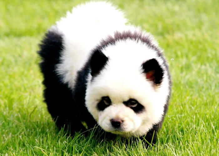 Perro panda: lo último en la moda canina