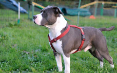 Pettorina ad H per cani: cos'è, come si usa e che vantaggi ha.