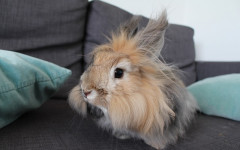 Coniglio d'angora: adorabile batuffolo peloso