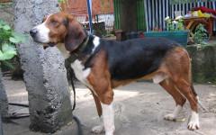 Segugio tricolore jugoslavo, carattere e prezzo - Razze cani