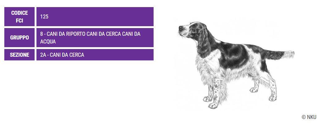 Springer Spaniel Inglese, carattere e prezzo - Razze cani
