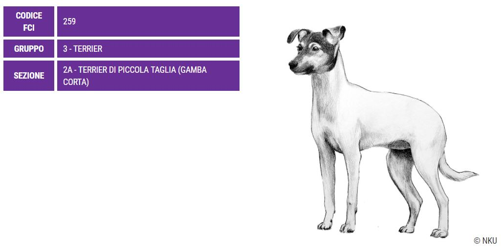 Terrier Giapponese, carattere e prezzo - Razze cani