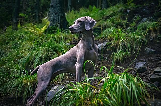 Weimaraner, carattere e prezzo - Razze cani