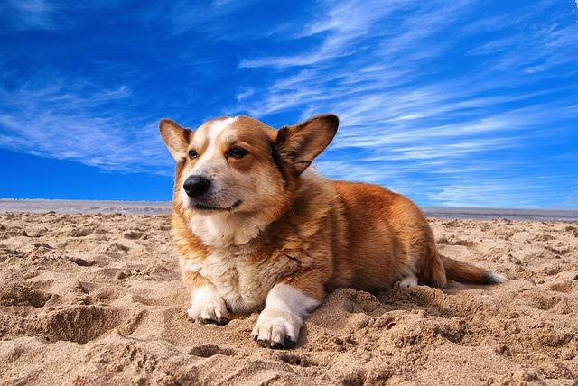 Welsh Corgi Cardigan, carattere e prezzo - Razze cani