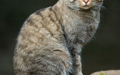 Wildcat: the Wild Cousin of Your Furry Companion