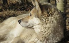 Perro lobo checoslovaco precio: ¿estás buscando a esta intrépida raza?