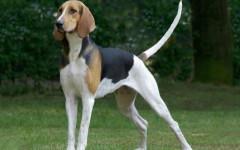 Francais tricolore, carattere e prezzo - Razze cani