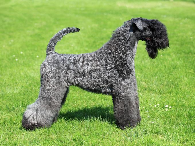Kerry Blue Terrier, carattere e prezzo - Razze cani