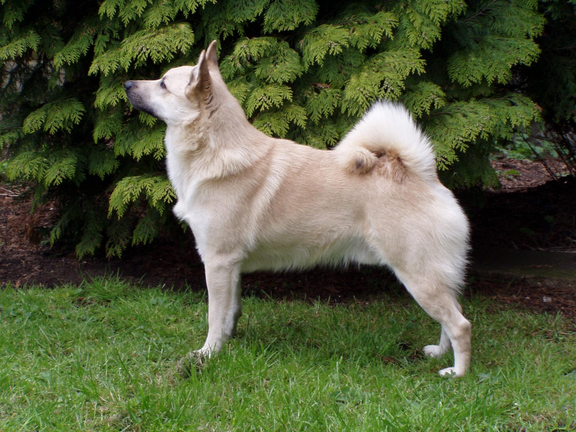 Norsk Buhund, carattere e prezzo - Razze cani