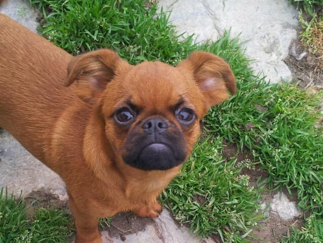 Piccolo Brabantino, carattere e prezzo - Razze cani