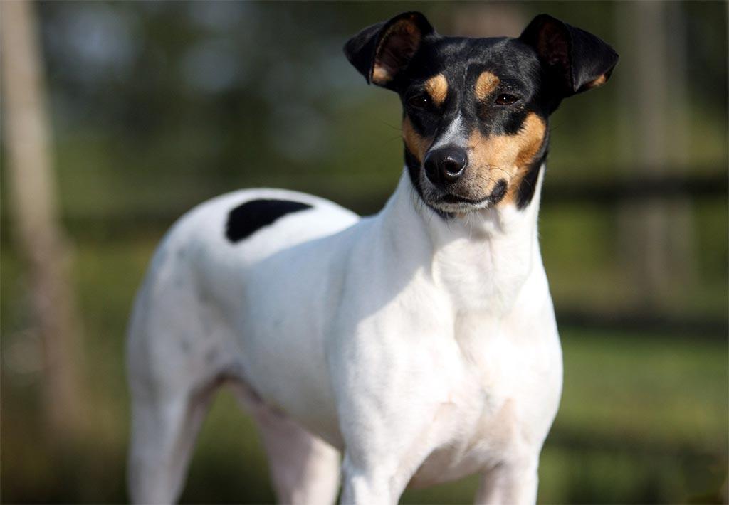 Bodeguero perro: una raza pequeña pero ágil