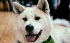 Akita perro: una raza de gran antiguedad