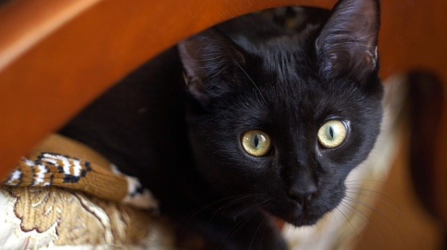 Gatti muovono la testa da una parte all'altra: perché?
