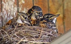 Uccellini caduti dal nido: cosa fare per aiutarli?