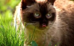 Gatti amano l'erba gatta: vediamo insieme perché