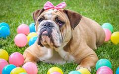 Perro bulldog: el forajido de la antigüedad
