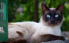 Gatti taglia media: quali razze di gatti lo sono?