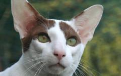 Gato oriental: características de un felino muy llamativo