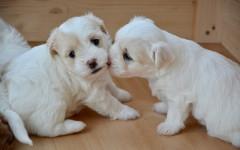 Perro blanco pequeño: descubre tu favorito