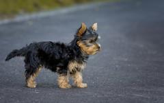 Perro yorsay: un excelente perro compañero en casa